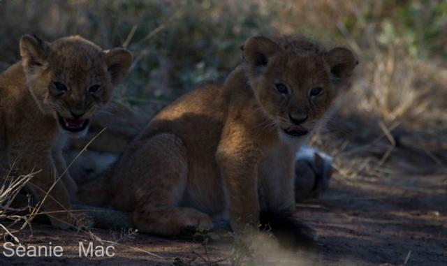 lin cubs