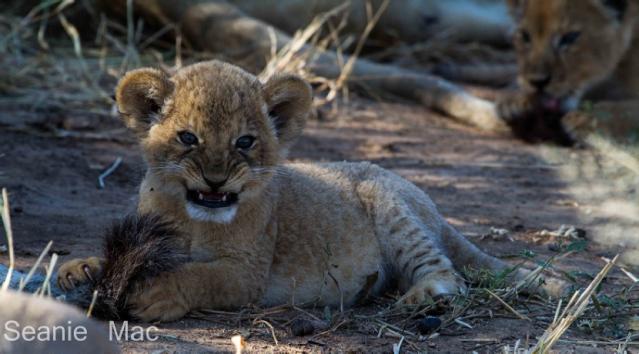 lion cubs3