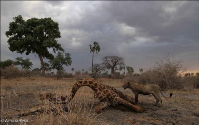 lion giraffe