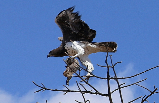 Martial eagle with dassie